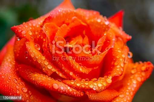 wet orange yellow rose with water drops closer