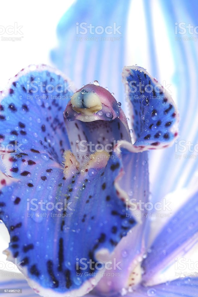wet orchid royalty-free stock photo