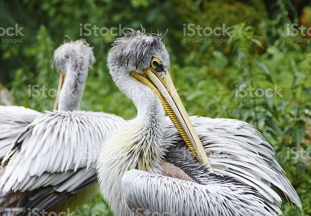 Wet pelican in ZOO royalty-free stock photo