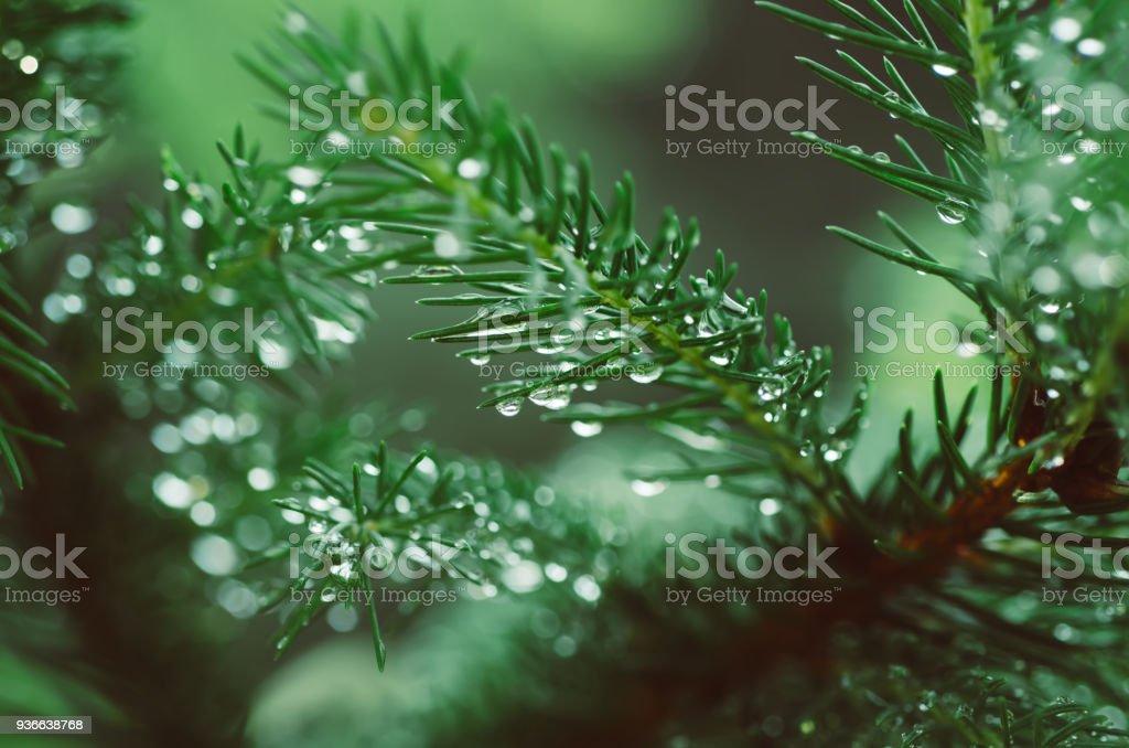 Wet pine tree stock photo