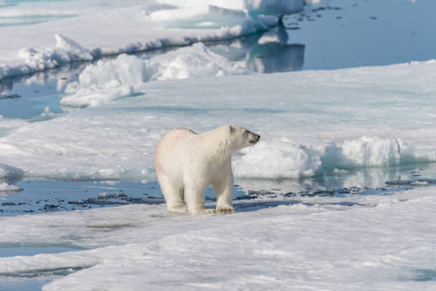 Wet polar bear going on pack ice in Arctic sea stock photo