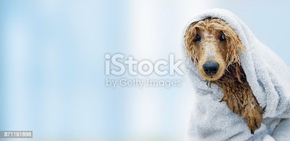 istock Wet poodle dog after the bath with a towel . 871161898