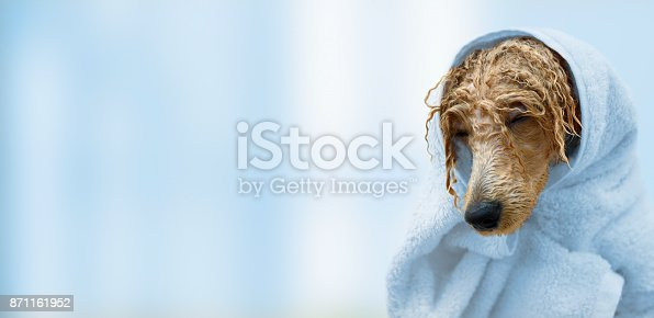 istock Wet poodle dog after the bath with a towel . 871161952