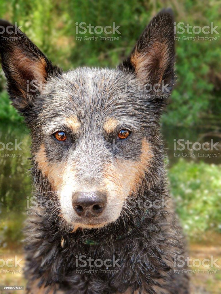 Wet Queensland Blue Heeler Headshot stock photo