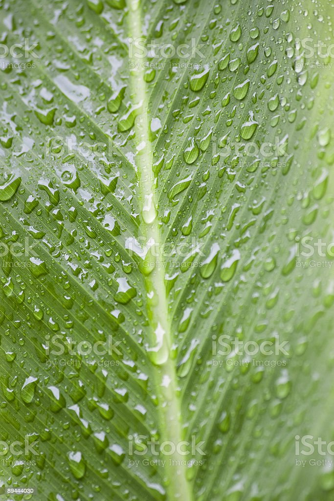 Wet Red Ginger Leaf stock photo