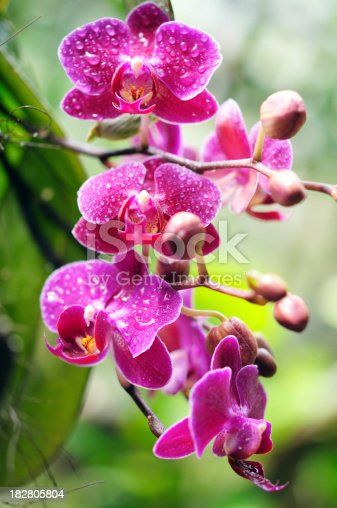 Red orchid with water droplets on petals
