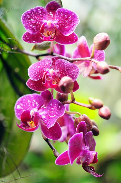 wet red orchid - foderblad bildbanksfoton och bilder