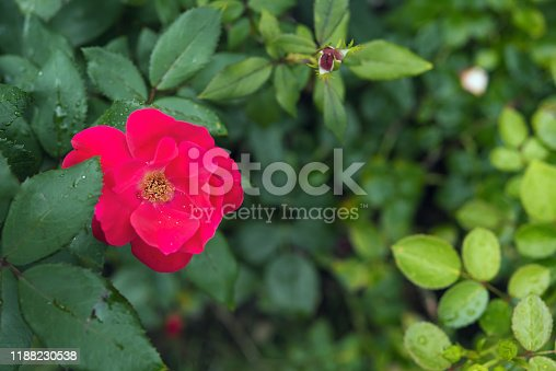 Beautiful blooming red rose shrub with water drops on petals and wet leaves. Selective focus. Background for romantic themed greeting card with bokeh effect and copy space.