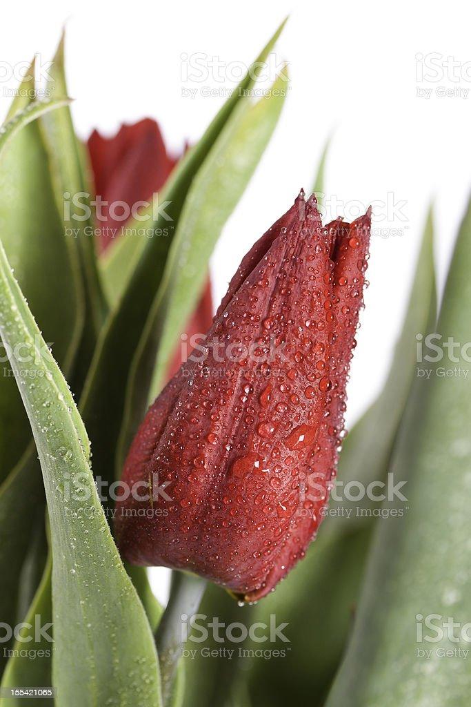 wet tulipes rouges - Photo