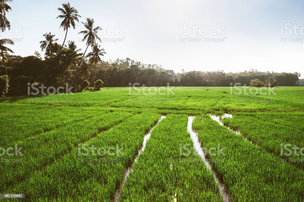 Wet Rice fields with fresh new sprouts of popular cereal asian meal. Southern Province, Sri Lanka stock photo