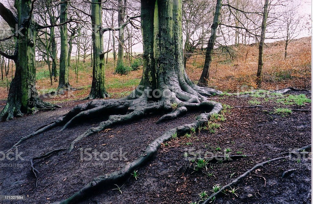 Wet Roots royalty-free stock photo