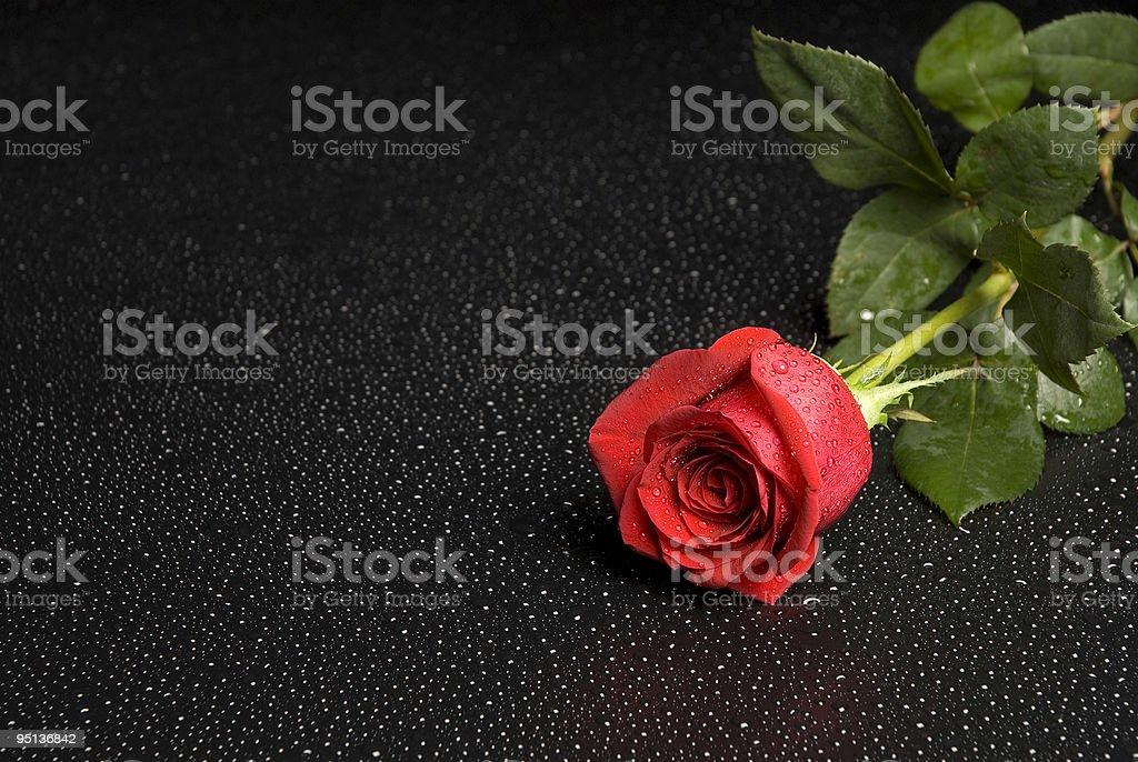 Wet Rose 001 stock photo