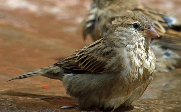 Wet sparrow stock photo