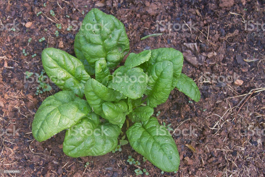 Wet Spinach Plant stock photo