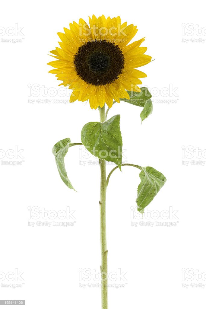 wet sunflower isolated on white royalty-free stock photo