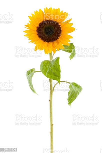 Photo of wet sunflower isolated on white