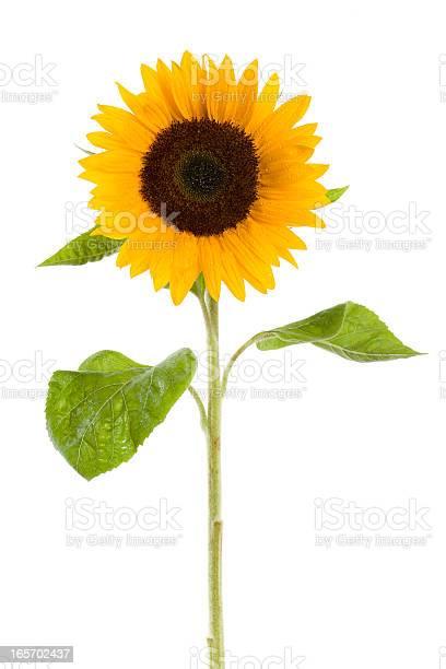 Photo of wet sunflower