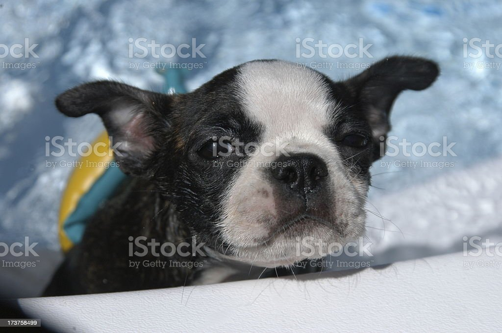Wet Swimmin' Puppy royalty-free stock photo