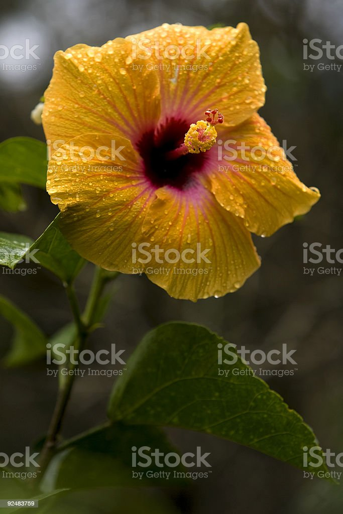 Wet tropical hibiscus flower royalty-free stock photo