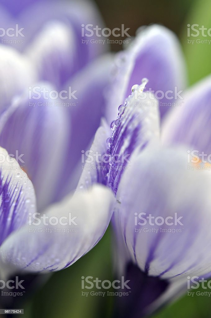 Wet Violet Crocuses royalty-free stock photo