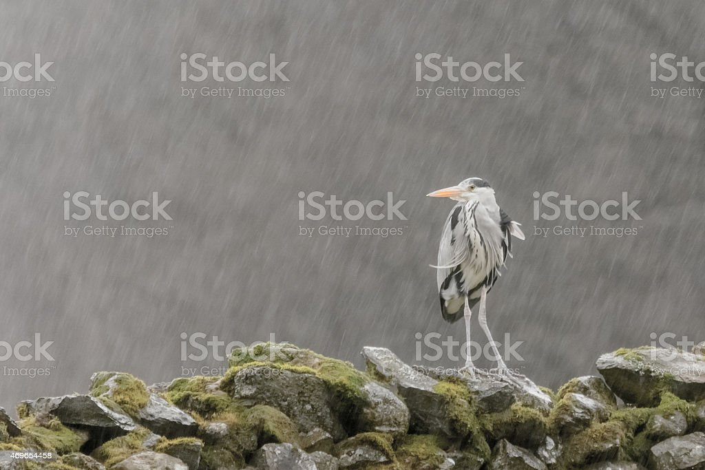 Wet Wet Wet Grey Heron in Heavy Rain Cropped Photo stock photo