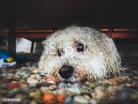A formerly fluffy white Bichon Frisé dog lying under the table to hide his dirty wet fur