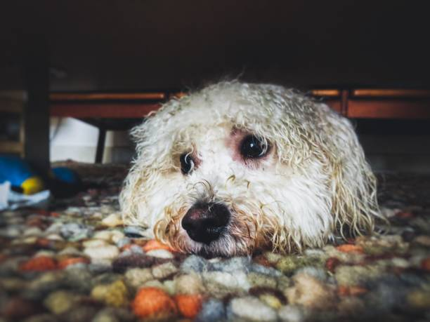 Wet White Dog Hiding Indoors stock photo