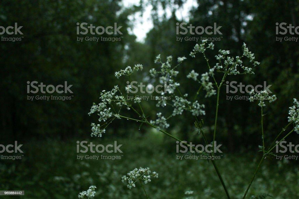 Natte witte bloemen - Royalty-free Bloem - Plant Stockfoto