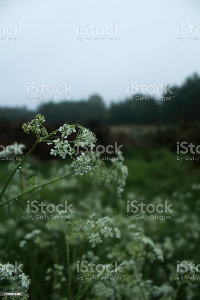 Wet white flowers - Royalty-free Beauty Stock Photo