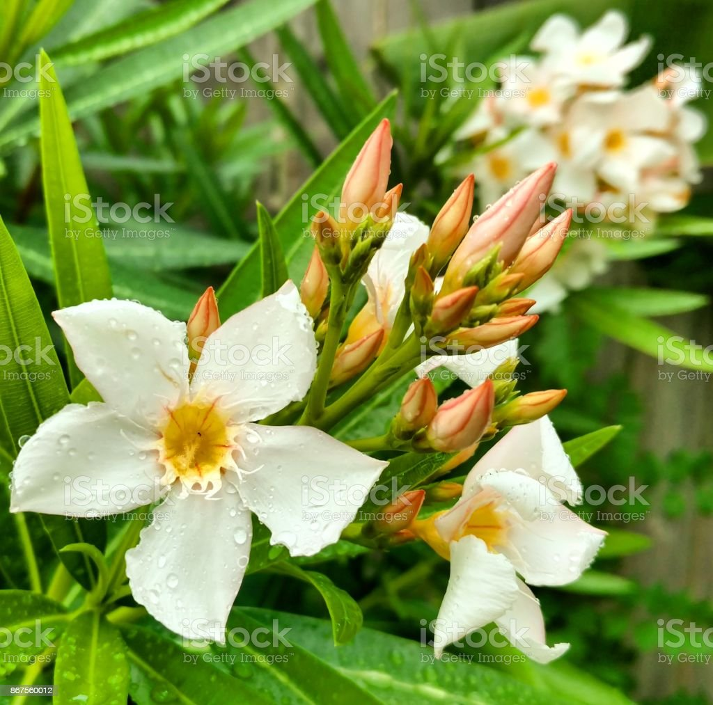 Wet White Oleander Flowers and Buds stock photo