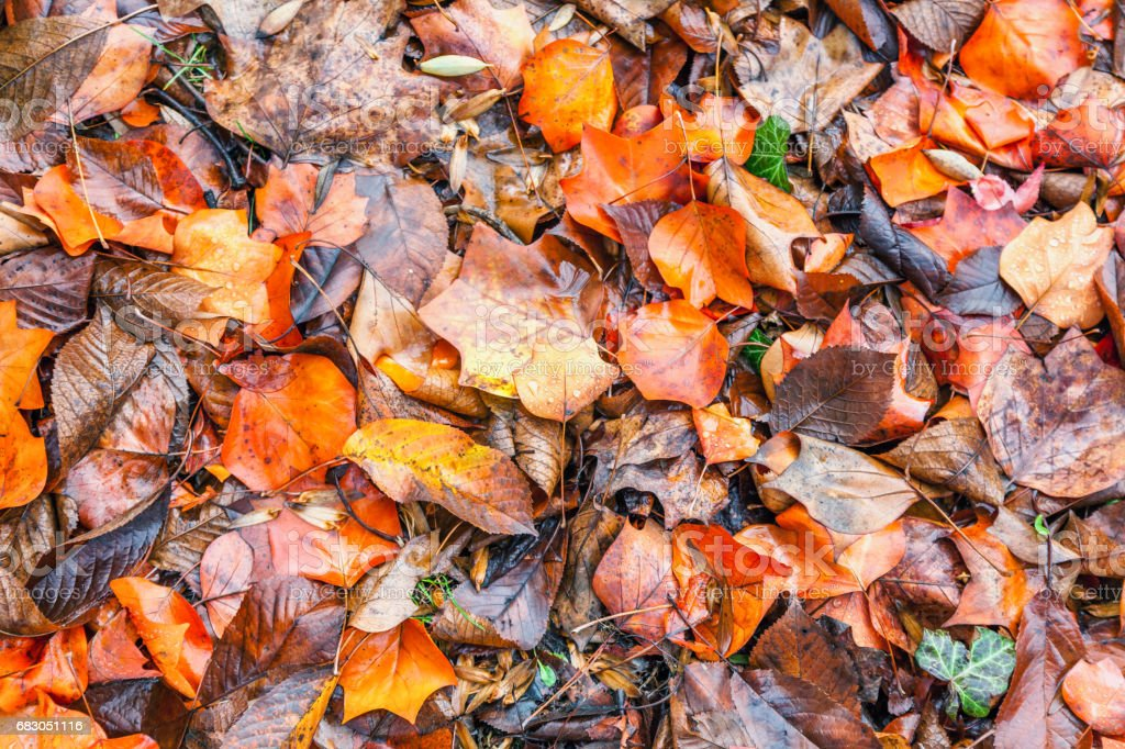 Wet yellow and orange leaves foto de stock royalty-free
