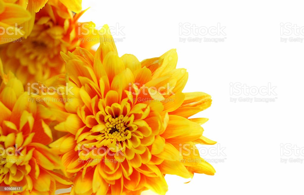 Wet Yellow Flowers royalty-free stock photo