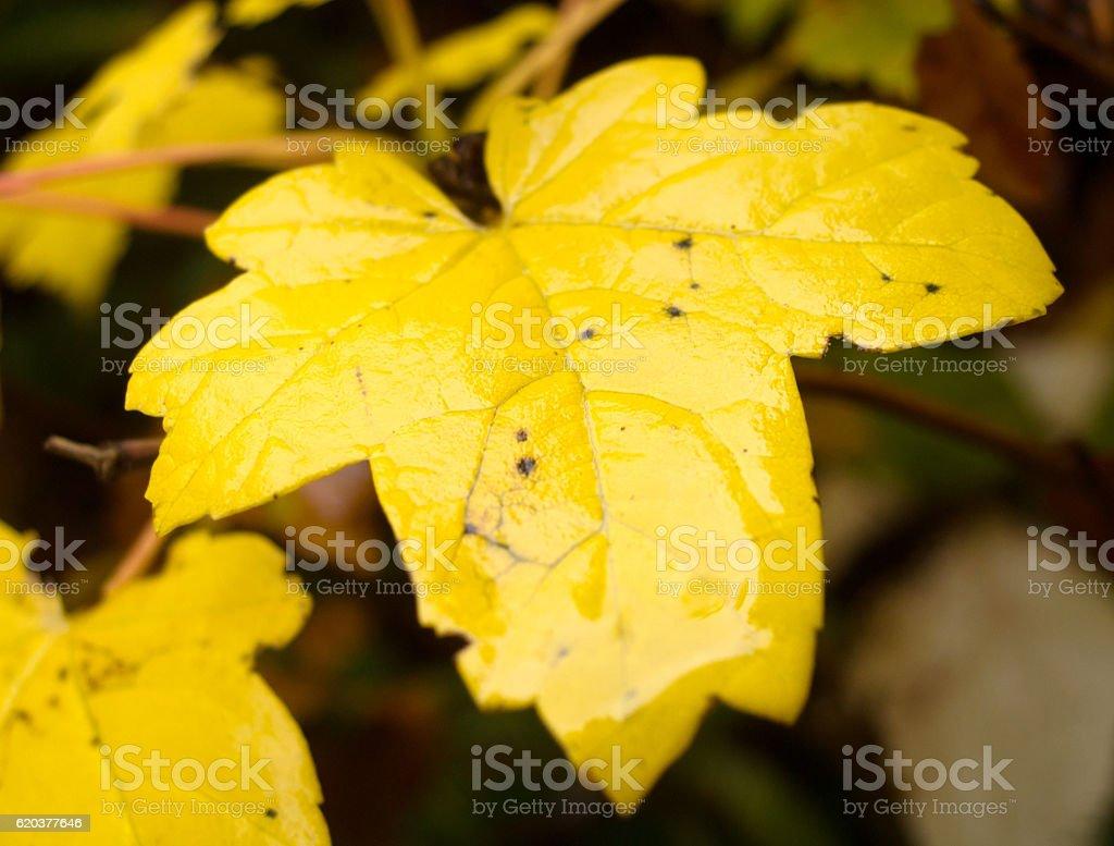 Wet yellow leaf zbiór zdjęć royalty-free