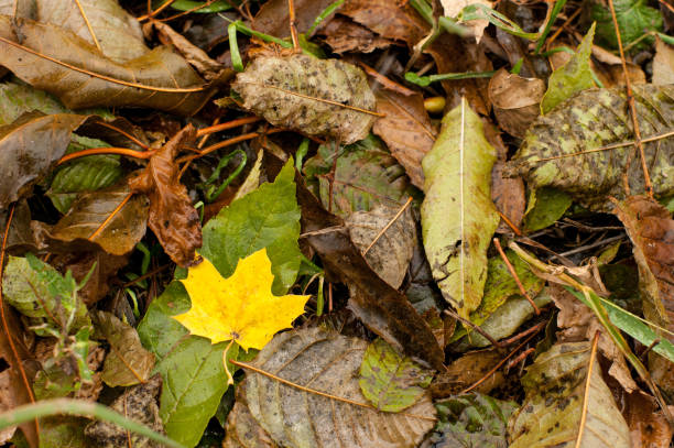 Wet yellow leave among other fallen leaves in autumn stock photo