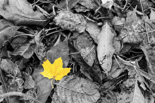 Wet yellow leave among other grey leaves in autumn stock photo