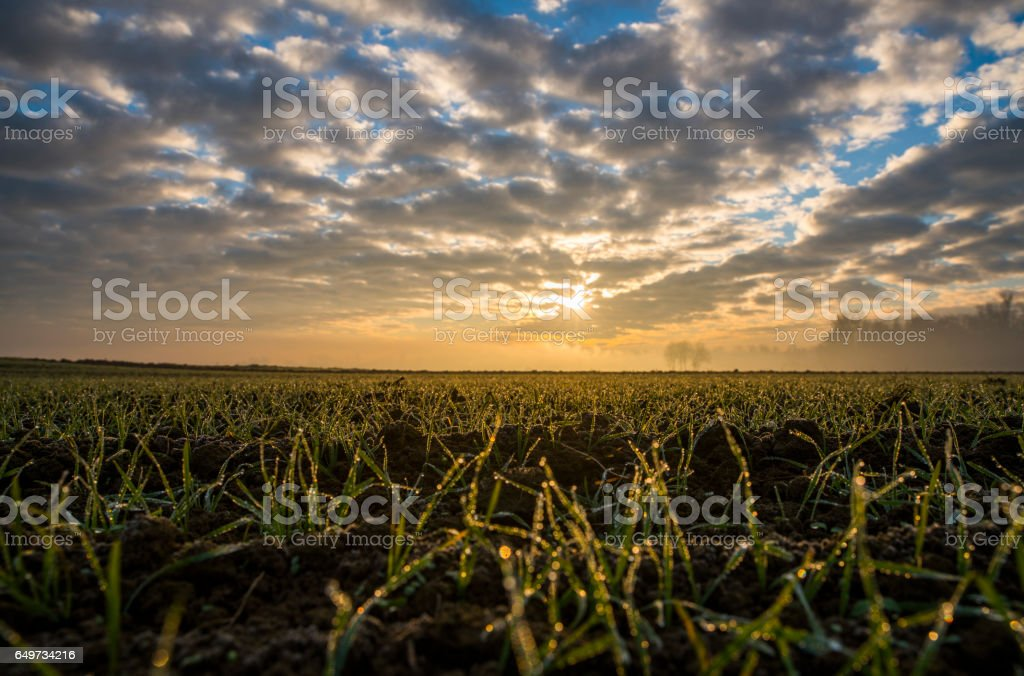 Wet young wheat crops in farm during sunset stock photo