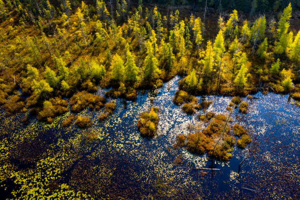 Wetland and larch trees in autumn stock photo