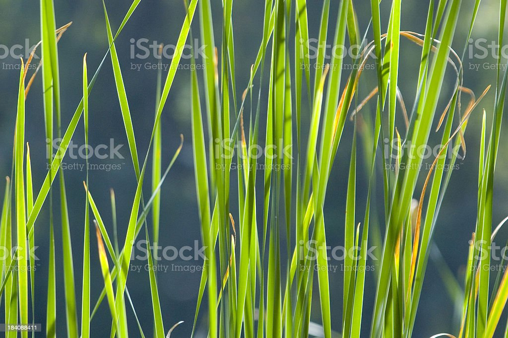 Wetland grass stock photo