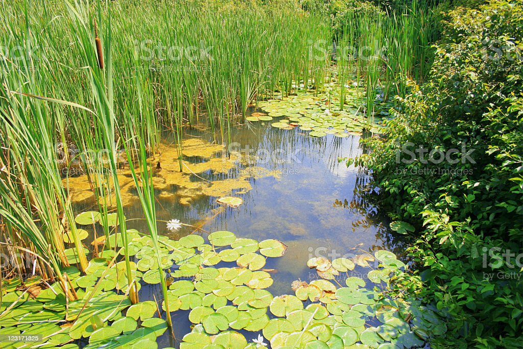 Wetlands: Lily Pads, Cattails, and Swamp Grass royalty-free stock photo