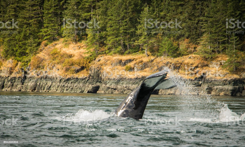 Whale at play close to the shoreline. stock photo