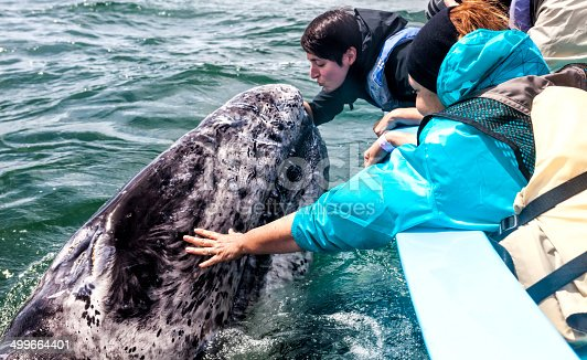 During a Whale Watching expedition in San Ignacio Lagoon, Southern baja California, Mexico, an attractive, young woman, is extending herself from a boat, trying to kiss a juvenile gray whale, who is emerging from the surface of the water, in order to be kissed by her.