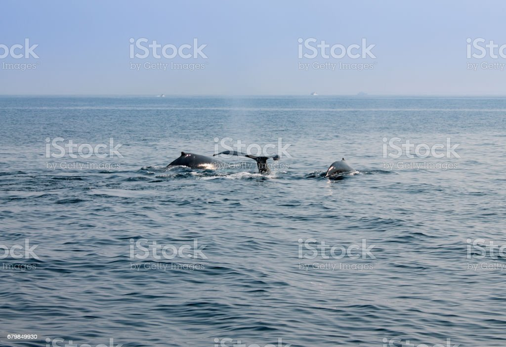 Whale blowing in Atlantic ocean stock photo
