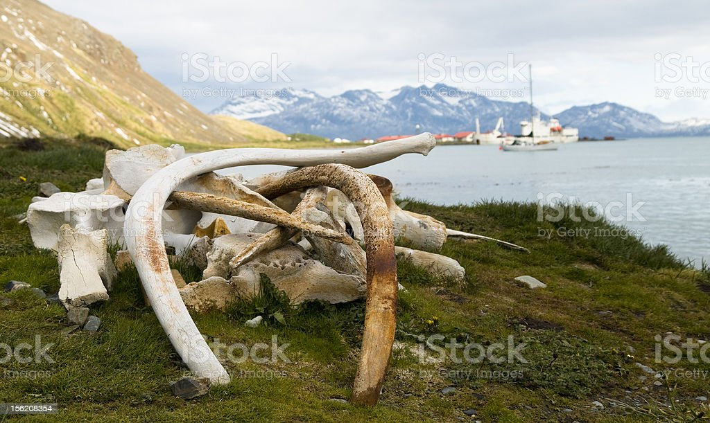Whale Bones - South Georgian Whaling Station stock photo