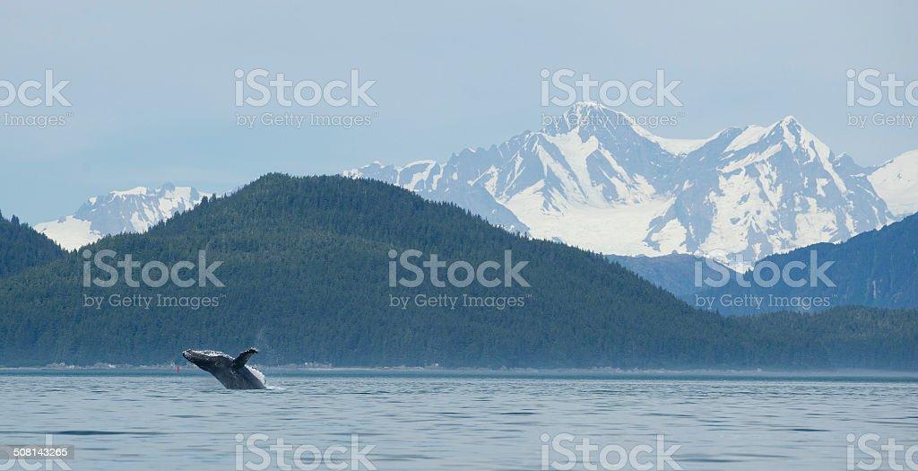 Whale Breach at Glacier Bay stock photo