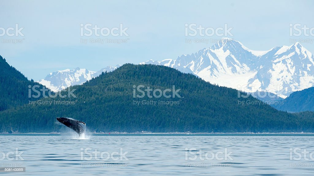 Whale Breach in Front of Breathtaking Mountains at Glacier Bay stock photo