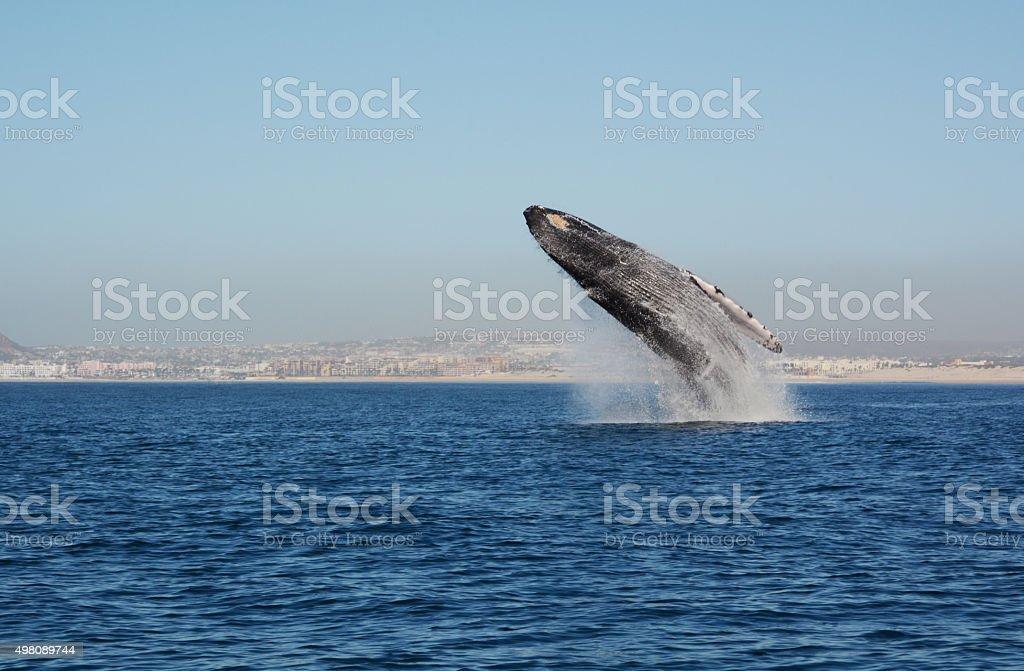 Whale Breaching stock photo