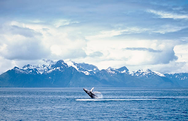 A whale breaching the surface of an ocean Humpback whale breach. Frederick Sound, SW Alaska whale stock pictures, royalty-free photos & images