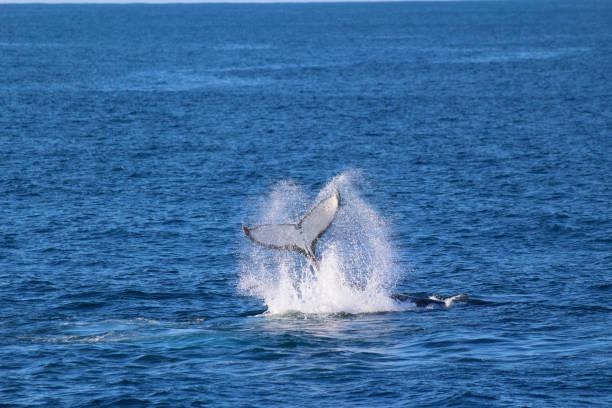 Wal, zweifelhaft Sound, Fiordland-Nationalpark, Südinsel, Neuseeland – Foto