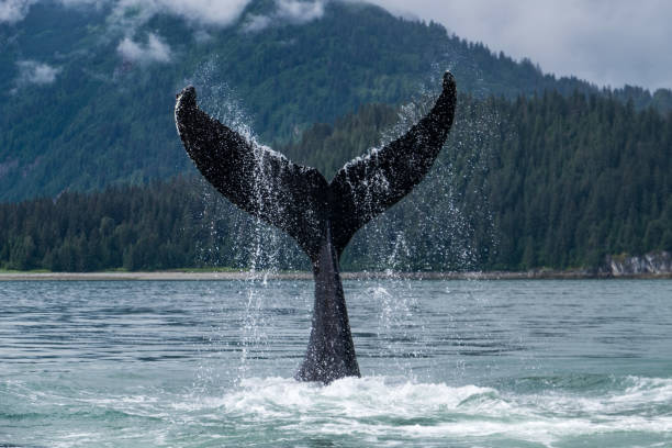 Whale fluke in Alaska A Humpback whale shows its fluke in the chilly waters of Glacier Bay on the Alaskan coast. whale stock pictures, royalty-free photos & images
