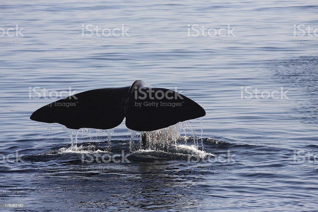 Whale flukes stock photo